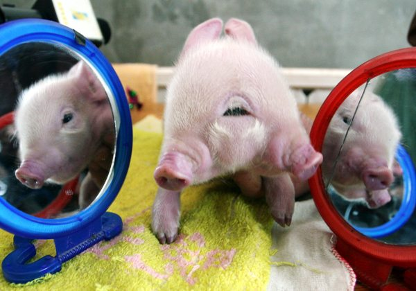 A piglet with two snouts and three eyes is posed between mirrors at a farm in Xi'an, in north China's Shaanxi province Tuesday, March 6, 2007. The piglet, one of nine born on the farm Sunday, will be sent to a local safari park for professional care. (AP Photo) ** CHINA OUT **