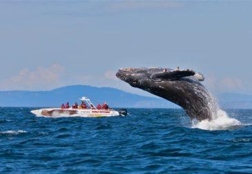 Япония возобновляет охоту на китов