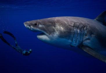 Захватывающие дух фотографии дайвинга с большой белой акулой
