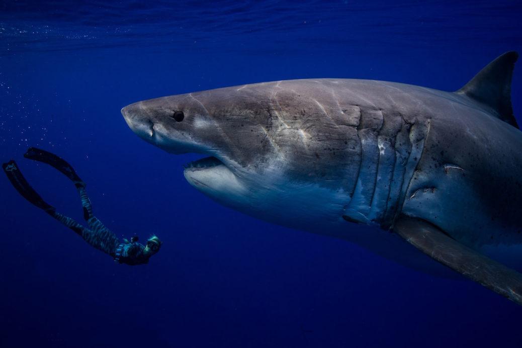 фото белой акулы первое место википедия крачковской