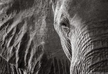 Последние фотопортреты «Королевы слонов»