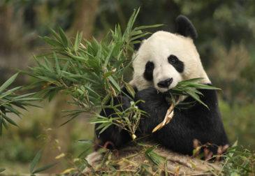 Две панды из Китая прибыли в Москву