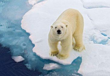 Белым медведям на Аляске угрожает политика Трампа