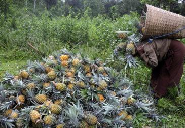 Противостояние Китая и Тайваня: почему тайваньцев просят есть больше ананасов