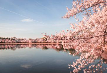 Самое раннее цветение сакуры за последние 1200 лет